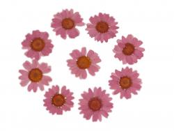 Planche de 12 chrysanthèmes...