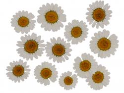 Acheter Planche de 12 chrysanthèmes pressés - blanc - 5,99€ en ligne sur La Petite Epicerie - Loisirs créatifs
