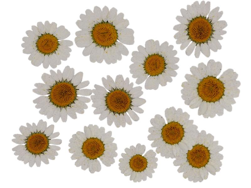 Acheter Planche de 12 chrysanthèmes pressés - blanc - 5,99€ en ligne sur La Petite Epicerie - 100% Loisirs créatifs