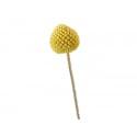 Brin de Craspedia jaune - fleur séchée