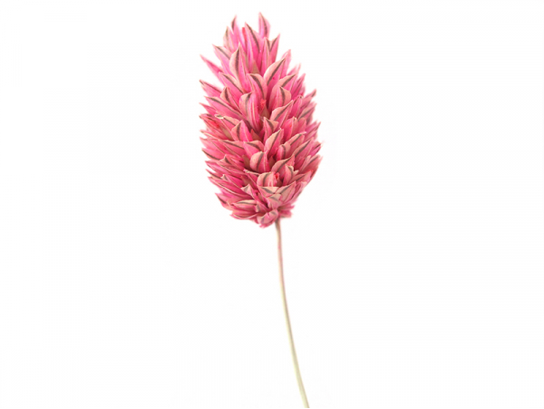Acheter Brin de Phalaris rose - fleur séchée - 0,29€ en ligne sur La Petite Epicerie - Loisirs créatifs