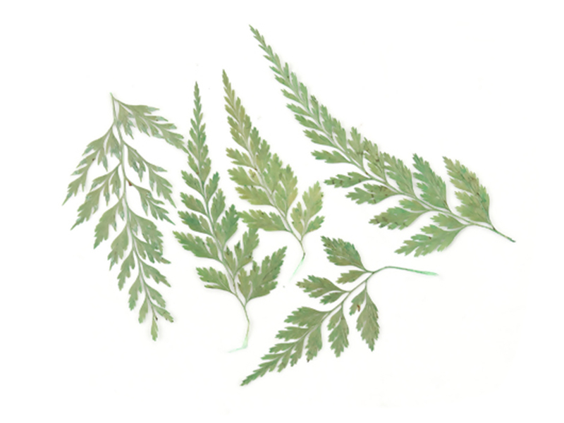 Acheter Planche de 10 feuilles naturelles pressées - 4,09€ en ligne sur La Petite Epicerie - Loisirs créatifs