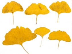 Acheter Planche de Gingkos pressés - 5,99€ en ligne sur La Petite Epicerie - 100% Loisirs créatifs