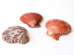 Acheter Lot de 3 véritables coquillages conques - 1,59€ en ligne sur La Petite Epicerie - 100% Loisirs créatifs