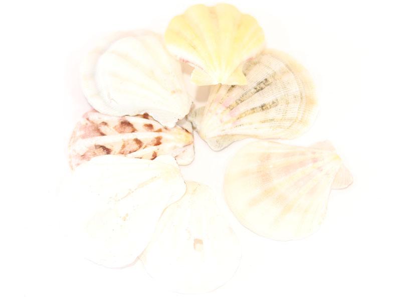 Acheter Lot de 3 coquillages véritables ivoire 35 mm - 0,39€ en ligne sur La Petite Epicerie - 100% Loisirs créatifs