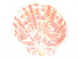 Acheter Lot de 3 coquillages véritables ivoire 45 mm - 0,39€ en ligne sur La Petite Epicerie - 100% Loisirs créatifs