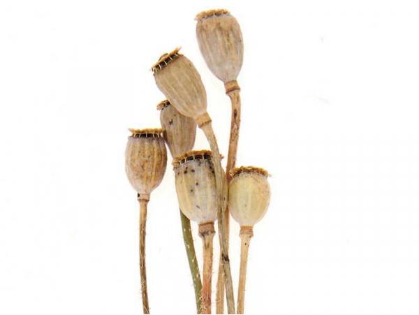 Acheter Bouquet de 6 graines de pavot séchées - 5,19€ en ligne sur La Petite Epicerie - Loisirs créatifs